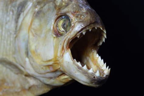 piranha  turn    skeleton   matter