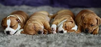 Sleeping Dog Sleep Puppy Wallpapers Desktop Wallpaperup