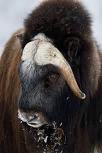 Musk Ox Animal