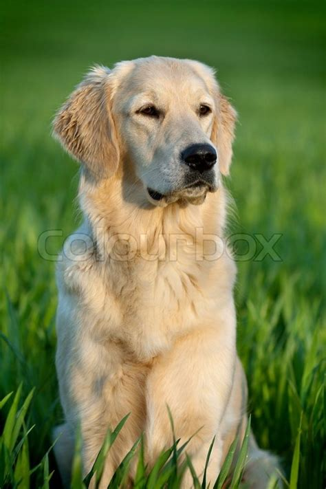Portrait Of A Beautiful Young Dog Golden Retriever