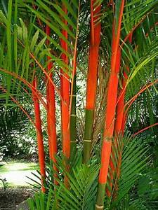 Lipstick palm striking red colour looks great in tropical
