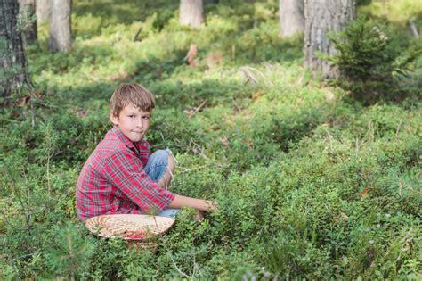 heidelbeeren erntezeit wald waldheidelbeeren pflanzen 187 das sollten sie beachten