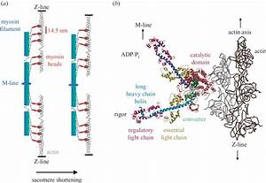 Structural Models For The Mechanism Of The Myosin Motor