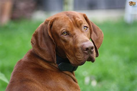 When Do Vizslas Shed Their Puppy Coat by Hungarian Vizsla Hereditary Health And Longevity Pets4homes