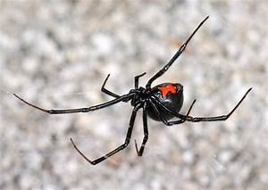 Featured Crawly Critter: Black Widow Spiders - The ...