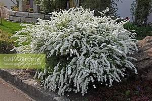 Spiraea Cinerea Grefsheim : gap gardens spiraea x cinerea 39 grefsheim 39 bridal wreath image no 0213487 photo by ~ Orissabook.com Haus und Dekorationen