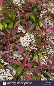 Photinia Red Robin : red robin red tip photinia red tipped photinia fraser 39 s ~ Michelbontemps.com Haus und Dekorationen