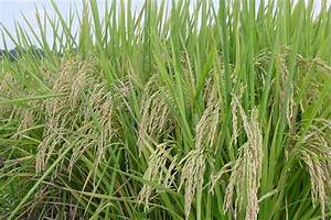 Usda Funding Research On Sustainable Organic Rice Farming