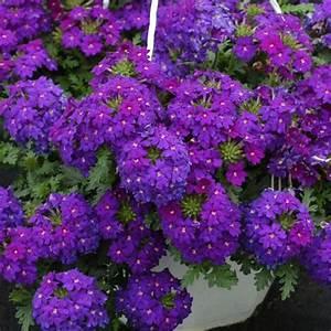 Plantes à Suspendre : plante tombante exterieur plein soleil ~ Premium-room.com Idées de Décoration