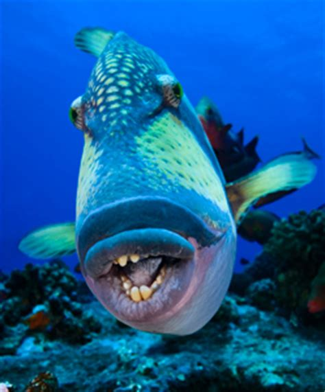species  triggerfish