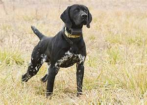 Why hate on the Black GSP? • General Chat : Gun Dog Forum ...