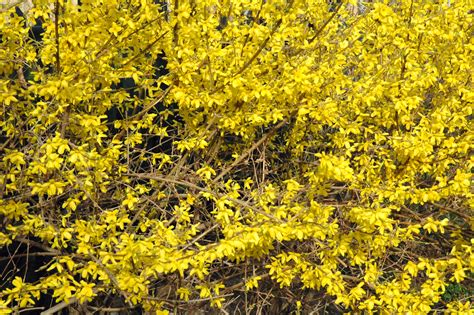 forsythia types forsythia bush www pixshark com images galleries with a bite