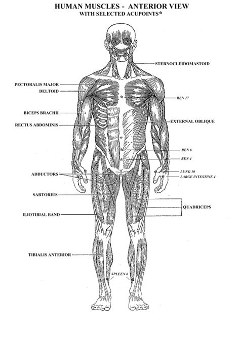 Muscle Worksheets For Anatomy  Human Anatomy Diagram