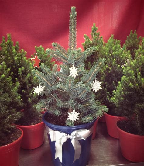 live potted christmas trees merlino s christmas trees