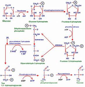 Glycolysis  Function Of Glycolysis  Stages Of Glycolysis