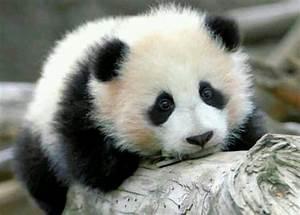 Panda Bear Cub | Animals | Pinterest