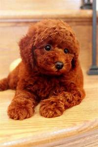 red+tiny+toy+poodles | Super Red Toy Poodle For Sale ...