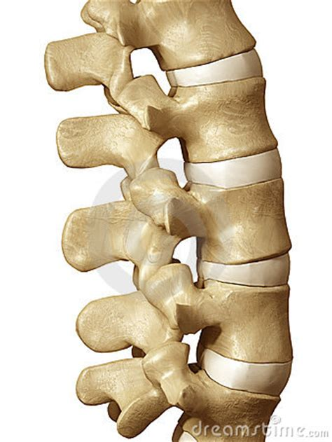 human spine royalty  stock photo image