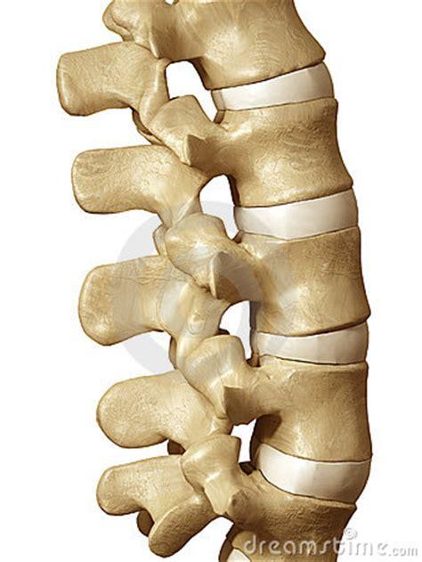 human spine royalty  stock photo image