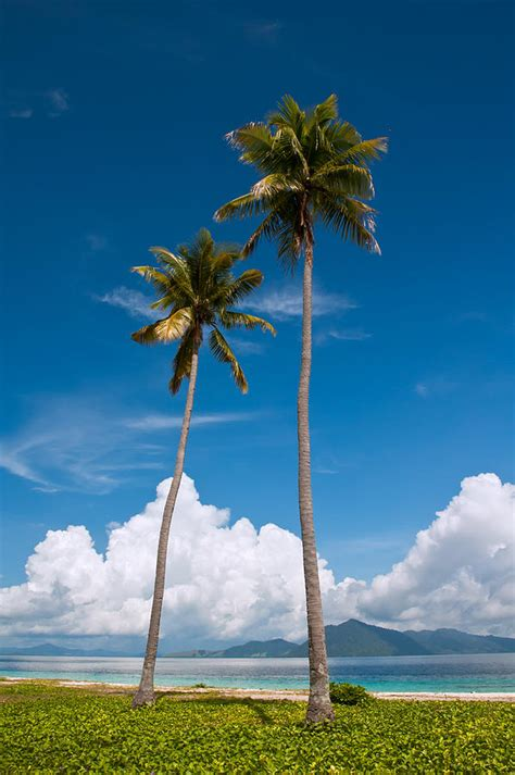 coconut trees photograph by pin