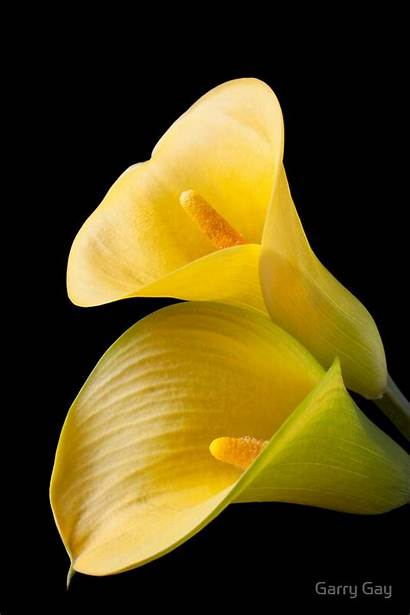 Yellow Calla Lilies Flowers Lily Flower Pair