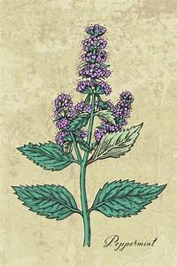 Pflanze Mit Fleischigen Blättern : pfefferminz pflanze mit bl ttern und bl ten stockvektor greenvalley 110887544 ~ Buech-reservation.com Haus und Dekorationen