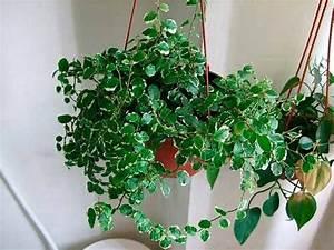 Indoor Hanging Plants Low Light Ficus Pumila Indoor House Plants Air Purifier Plant
