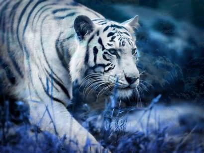 Tiger Wallpapers Animal Wallpapertag Mobile