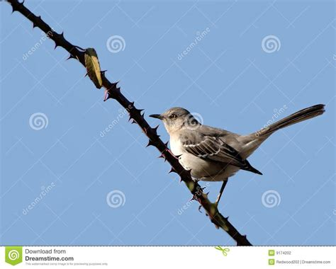 carolina bird stock photography image 9174202