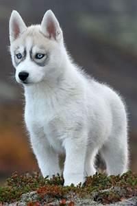 Bébé Loup Blanc : pingl par la ferme des animaux sur chiots pinterest ~ Farleysfitness.com Idées de Décoration