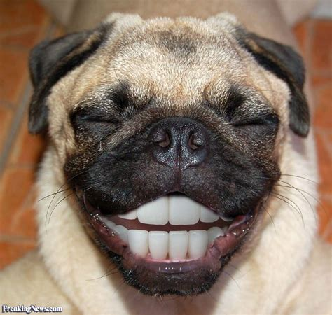 Funny Pugs Pictures   Freaking News