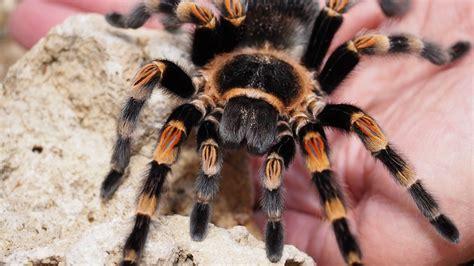 tarantula spider animal  photo  pixabay