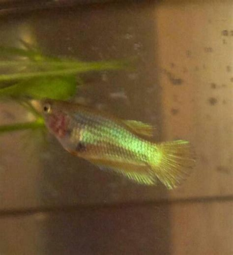 best images about you betta work it on 17 best images about ibc betta fry and juvenile betta 17