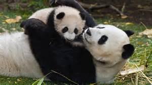 Panda Bear Cubs Wallpaper