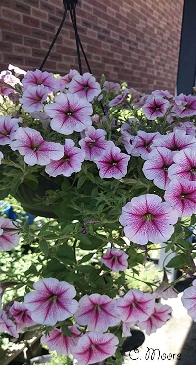 growing petunias in pots daylilies in australia petunia care easy steps to grow petunias from seeds to flowers