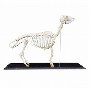 Goat Skeleton - Taxidermy Mounts for Sale and Taxidermy ...