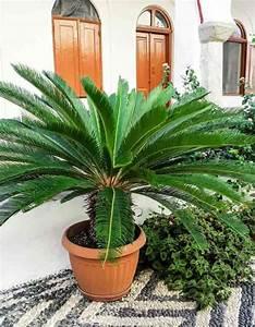 Sago Palm Care  A Cycas Revoluta Growing  Guide
