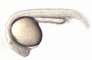 Zebrafish embryo development - Science in the News