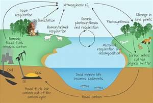 Carbon Cycle Easy Diagram