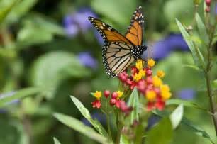 Flowers Monarch Butterflies