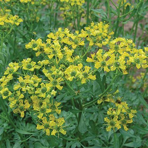 rue plants rue herb seed savers exchange