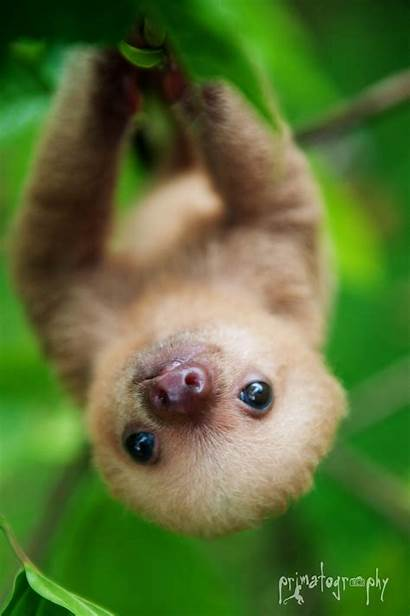 Animals Sloth Sloths Happy Rainforest Kstr Cutest