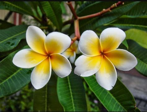 popular flower  bali  loved  people facts