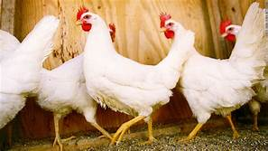 Trump admin to pay to take British journalists on chicken tours…