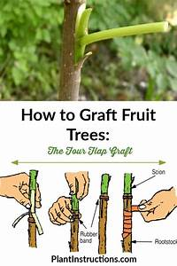 How To Graft Fruit Trees  The Four Flap Graft