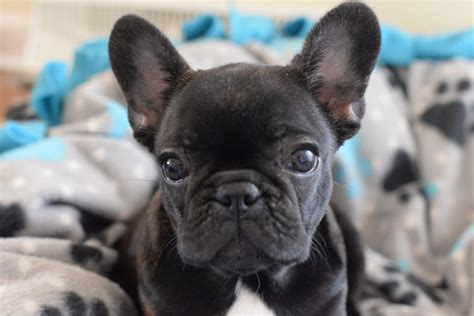 Midwest Frenchies A Dog Is Not A Toyits A Life