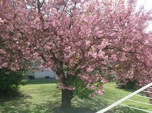Rosa Blühender Baum Im Frühling : 301 moved permanently ~ Lizthompson.info Haus und Dekorationen