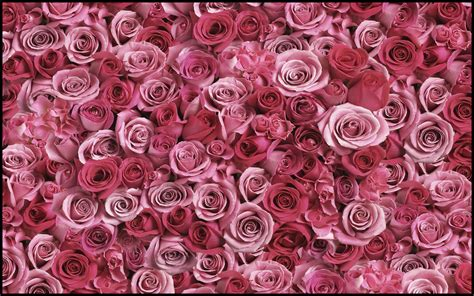 Pink Roses Background Roses Background Images 183