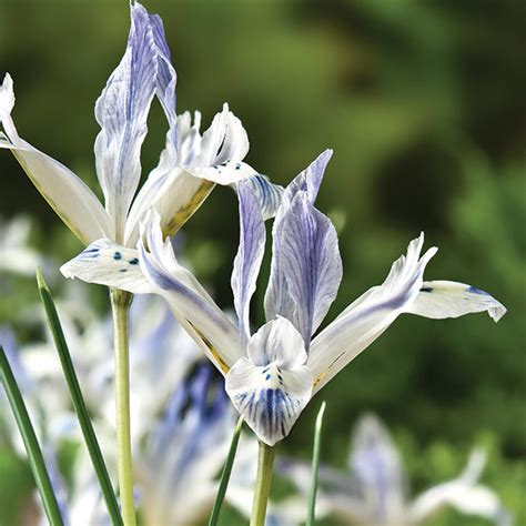 buy iris bulbs iris painted reticulata delivery