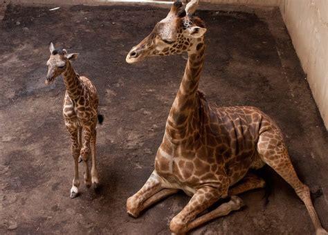Sweet Animals Wallpaper - baby giraffe wallpaper
